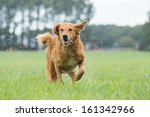Stock photo dog runs in the field 161342966