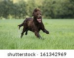 Stock photo dog running in the field 161342969