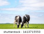 Small photo of Two grazing black and white cows, their heads side by side in the grass in a pasture under a blue sky and a faraway straight horizon.