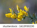 Close Up Common Gorse  Ulex...