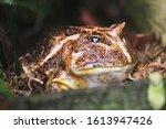 Brown Chaco Frog As Nice Exoti...