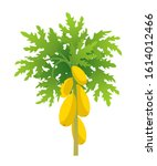 Papaya Tree. Papaw Plant...