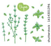 thyme sprigs and leaves  hand... | Shutterstock .eps vector #1614301396