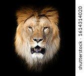 Close Up Lion Portrait Isolate...