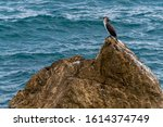 Large Cormorant Phalacrocorax...