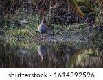 Water Rail Rallus Aquaticus...
