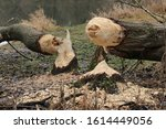 Small photo of Beaver tree. Tree trunks twinged and felled by European beaver (Castor fiber) close to the water. Evidence of beaver's activity. Trees damaged by protected animal. Autumn or winter period.