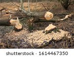 Small photo of Beaver trees. Tree trunks twinged and felled by European beaver (Castor fiber) close to the water. Evidence of beaver's activity. Trees damaged by protected animal. Autumn or winter period.