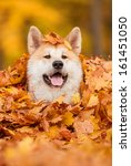portrait of akita dog lying in... | Shutterstock . vector #161451050