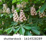Blossoming Chestnut Tree In...