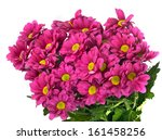 rare pink camomiles | Shutterstock . vector #161458256