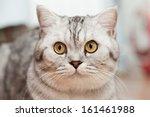 big gray cat   a portrait close ... | Shutterstock . vector #161461988