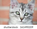Stock photo puppy of siberian cat silver version 161490209