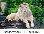 male white lion lying down | Shutterstock . vector #161501468