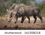 a pair of female warthogs with...   Shutterstock . vector #161508218