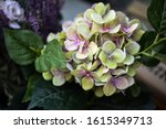 Hydrangea Flower Close Up View