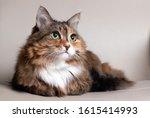 Domestic Long Hair  Cat. Close...