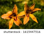 Twin Orange Tiger Lilies In...