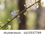 Tufted Titmouse On Budded Pear...