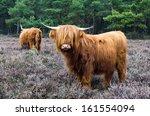 Scottish Highlander Ox  In...
