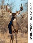 Mature 10 Point Whitetail Buck...