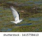Whiskered Tern In Non Breeding...