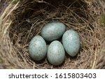 Blue Eggs Of A Wild Bird Thrush ...