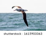 Small photo of Antipodean Albatross in New Zealand