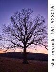 A Very Large Oak Tree On A...