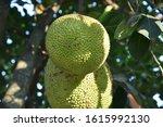jackfruit growing on the tree. | Shutterstock . vector #1615992130