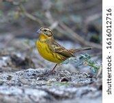 beautiful bird  male of yellow... | Shutterstock . vector #1616012716