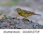 beautiful bird  male of yellow... | Shutterstock . vector #1616012719