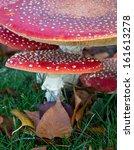 Small Fly Amanita Mushroom...