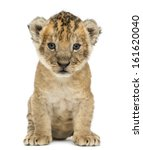 Lion Cub  4 Weeks Old  Isolate...