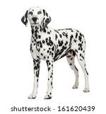 Dalmatian Standing  Isolated O...