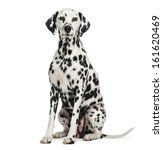 Dalmatian Sitting  Looking At...