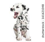 Dalmatian Puppy Yawning ...
