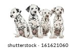 Group Of Dalmatian Puppies...