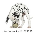 Stock photo dalmatian puppy playing with a tennis ball isolated on white 161621999
