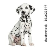 Stock photo dalmatian puppy sitting isolated on white 161623949