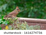 Female Northern Cardinal ...