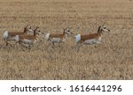 A Pronghorn Herd On The Plains...