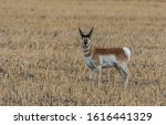 A Pronghorn On The Plains Of...