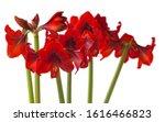 Flower Red Hippeastrum ...