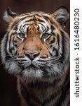 Portrait Of Sumatran Tiger In...