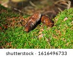 Fir Cones On Green Moss. Two...