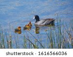 American Coot With Chicks In...