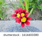 Three Freesia Flowers With...