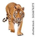 Tiger Walking On White...