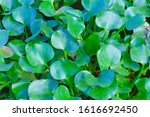 Small photo of Water hyacinths, natural green plants, grow up and grow in the water surface.